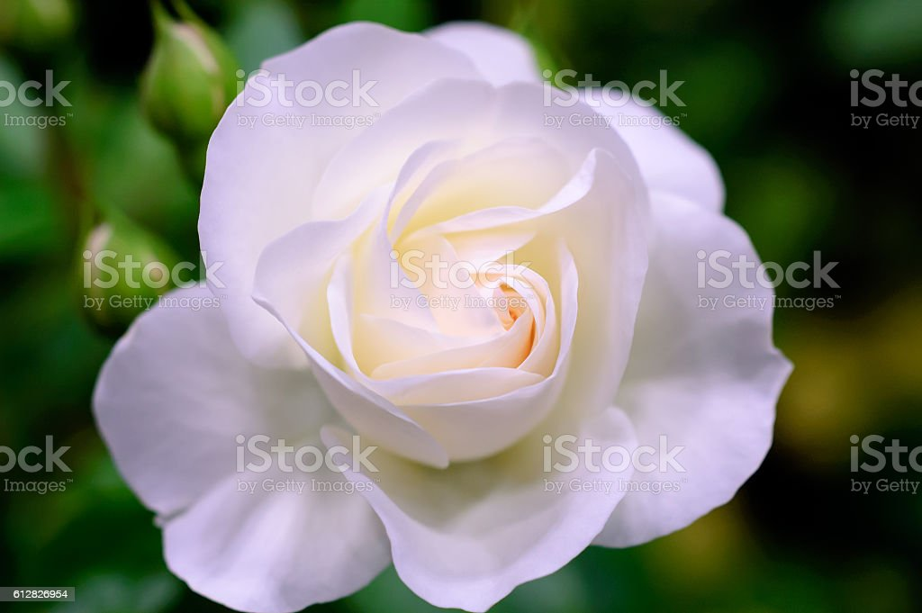 White rose of the large-flowered ストックフォト