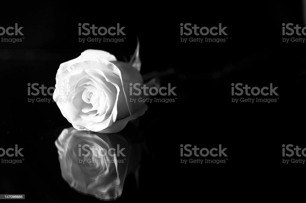 Rosa Bianca Su Sfondo Nero Con Riflessione Fotografie Stock E
