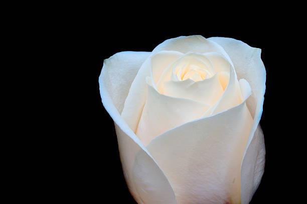 White rose on black stock photo