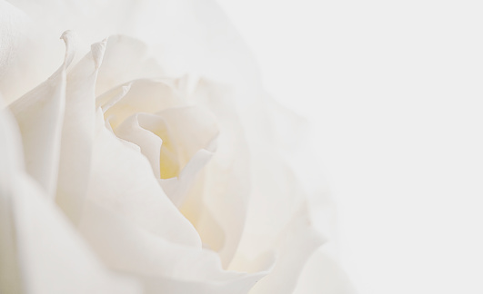 white rose on dark background