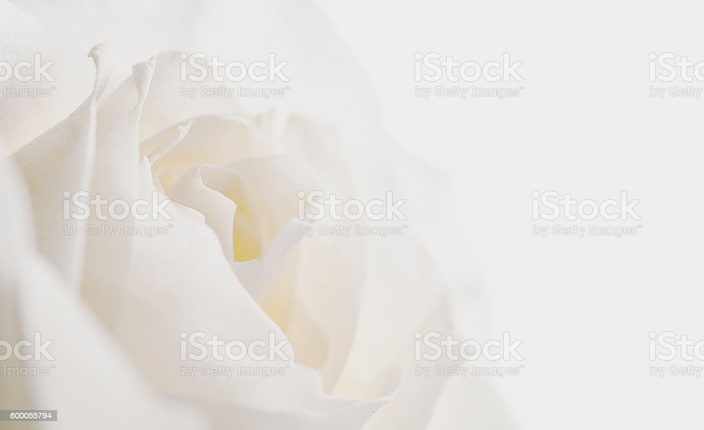 white rose on dark background stock photo