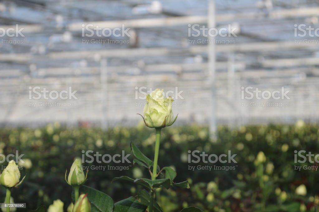 White rose op voorgrond in broeikasgassen kwekerij in Zevenhuizen foto