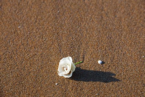 White rose on sand beach.