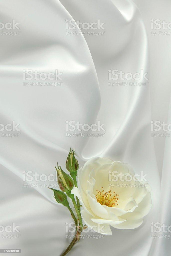 White rose de satén foto de stock libre de derechos