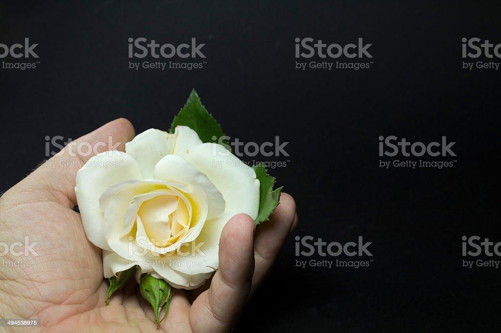 Rosa Bianca Sulla Mano Di Un Uomo Sfondo Nero Fotografie Stock E