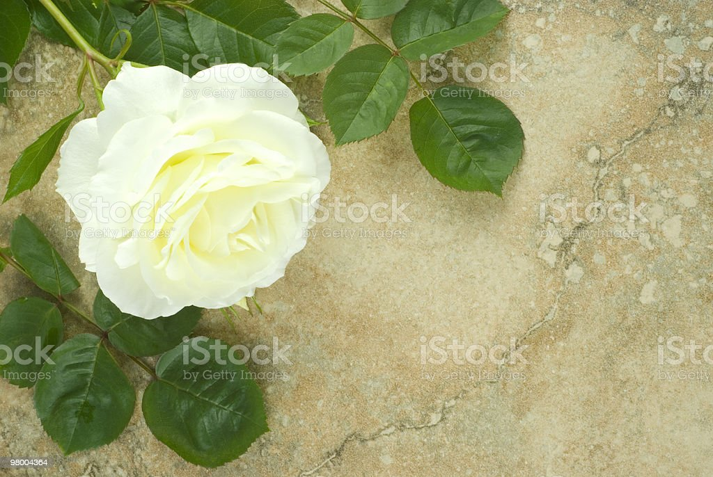 White Rose on Vintage Background royalty-free stock photo