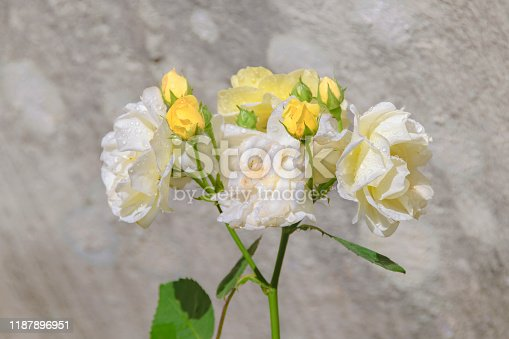 istock White Rose Over Concetre Wall 1187896951