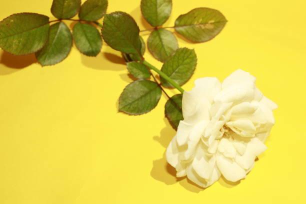White rose picture id1186326144?b=1&k=6&m=1186326144&s=612x612&w=0&h=zfcq  qq0oh7z1nbdx zci2rner8hkma39xhdyhiy6u=