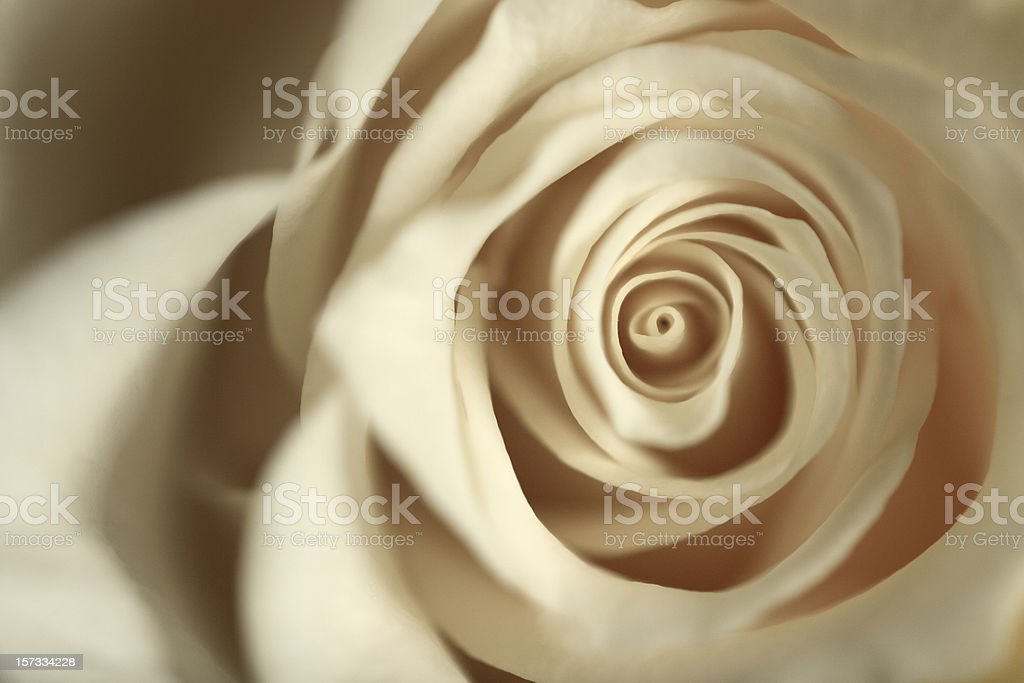 White Rose White rose close up. Beauty In Nature Stock Photo