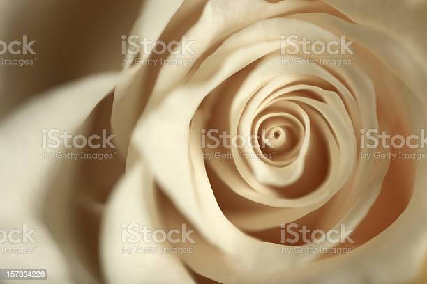 White Rose Stock Photo - Download Image Now