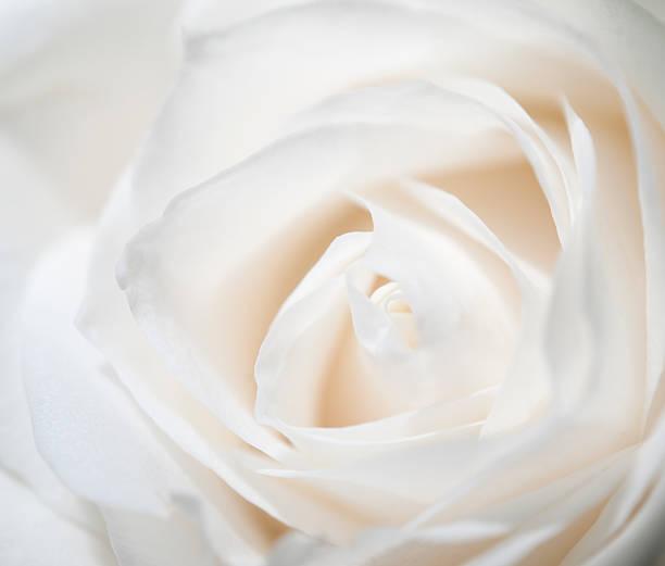White rose picture id183831087?b=1&k=6&m=183831087&s=612x612&w=0&h=h db pvibjacdn1oduhlo4saqnohn8irx ux9nremyk=