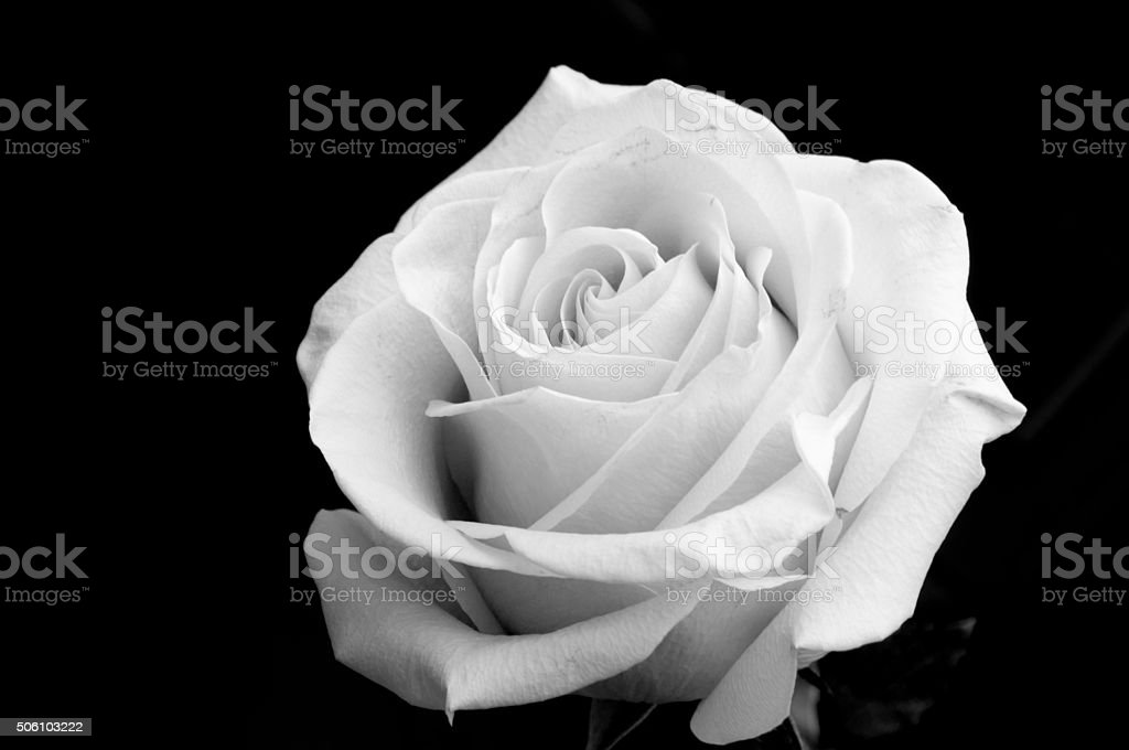 Black And White Photography Of A Rose