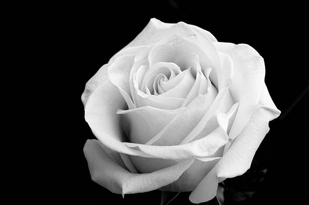 Best Black And White Rose Stock Photos, Pictures & Royalty
