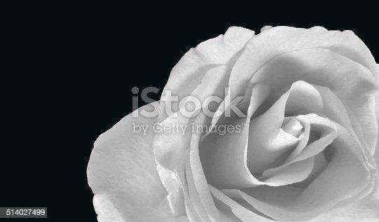 White rose on a black background