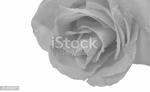 White rose with water drops on a white background