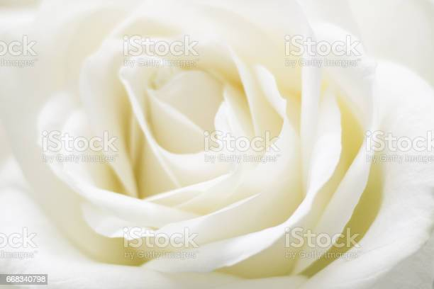 White rose picture id668340798?b=1&k=6&m=668340798&s=612x612&h=wayqvqp6fcmwd45h30mqsb3v9vk2rqxvqo48whswwjk=