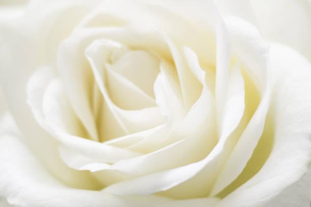 White rose picture id668340798?b=1&k=6&m=668340798&s=612x612&w=0&h=1yci4x3ezjy0nbsdlqxr ovecn6ds hbasukuma77fw=