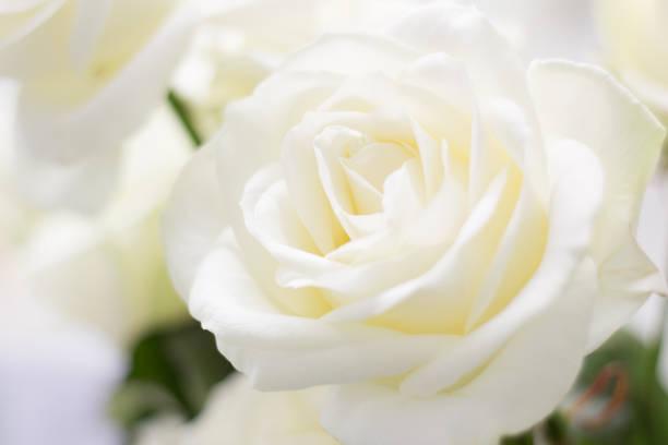White rose picture id668340848?b=1&k=6&m=668340848&s=612x612&w=0&h=6 y9qtsjhglqtqviox g 1 zsm94o800d5izcfq2bpk=