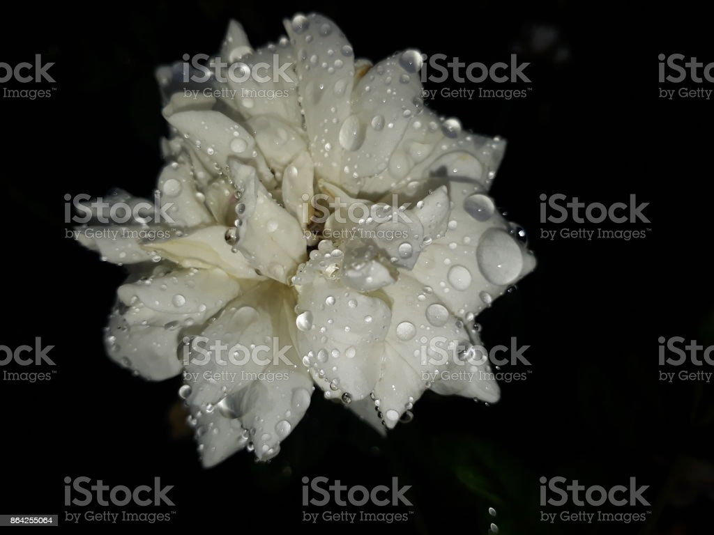 White rose. royalty-free stock photo