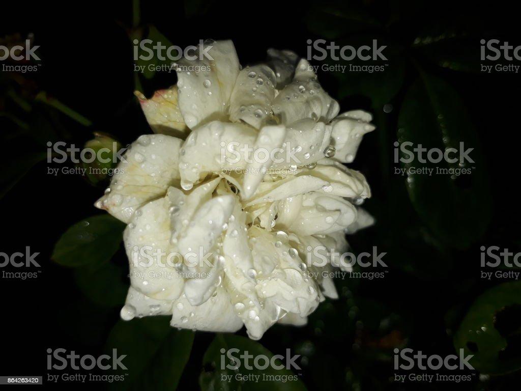 White rose. royalty-free stock photo