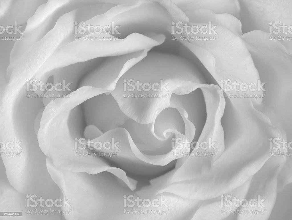 white rosa foto stock royalty-free