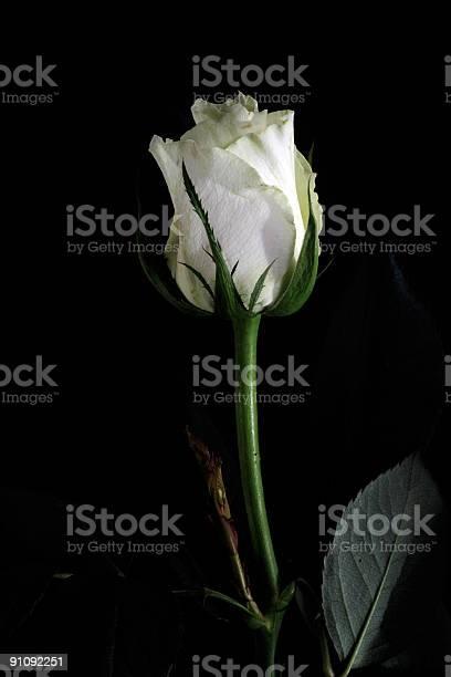 White rose picture id91092251?b=1&k=6&m=91092251&s=612x612&h=rwuwuyqzixuhl3xnoywo jmdvqmx6nvb7bhttlkcjui=