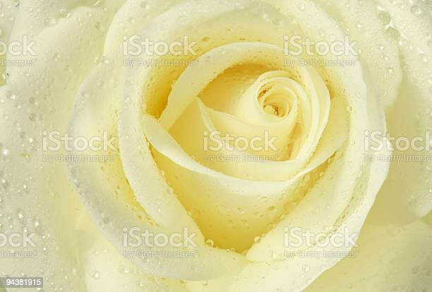 White rose picture id94381915?b=1&k=6&m=94381915&s=612x612&h=eyzpiskvjqlbcpsyg yvlh5sjgoqjbckkv9z7o5820g=