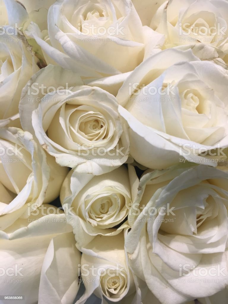 White Rose - Royalty-free Anniversary Stock Photo