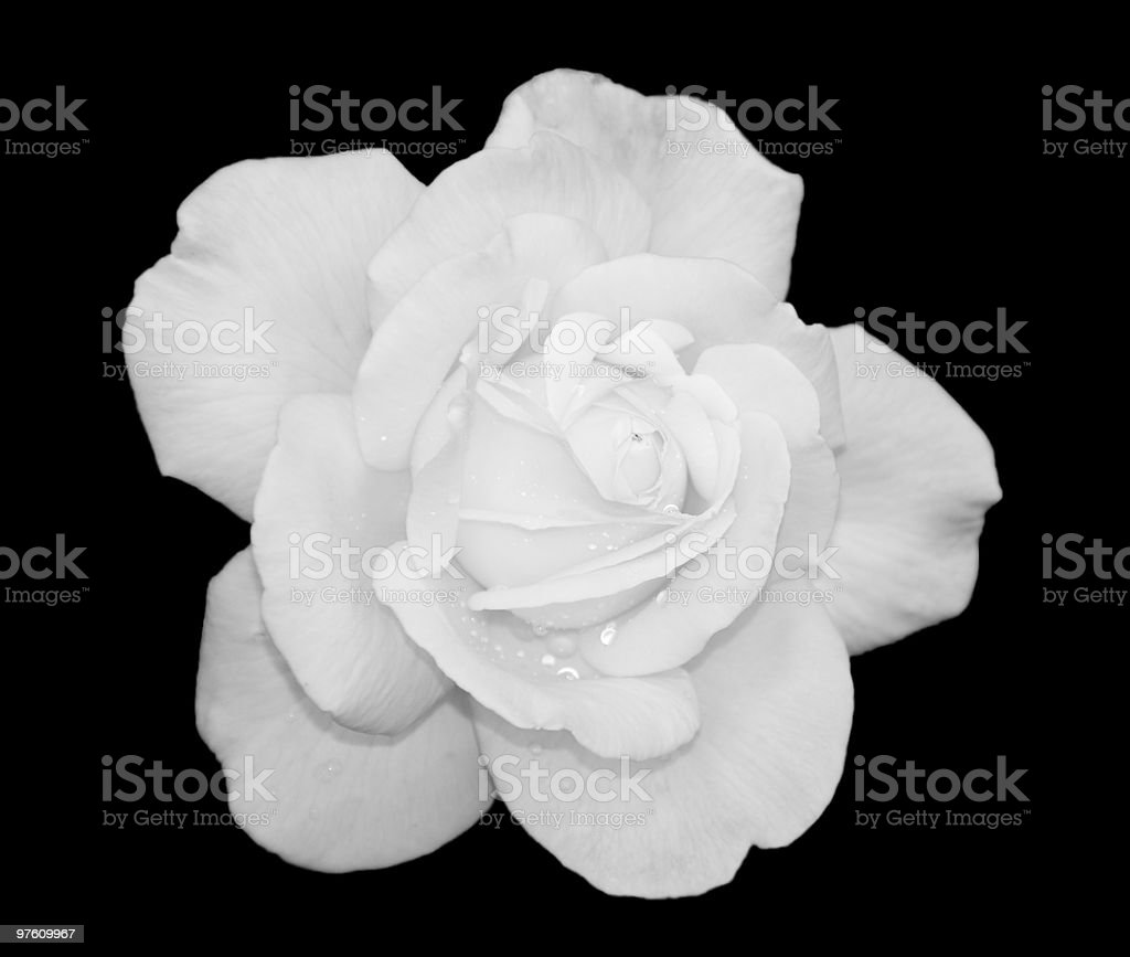white Rose royalty-free stock photo