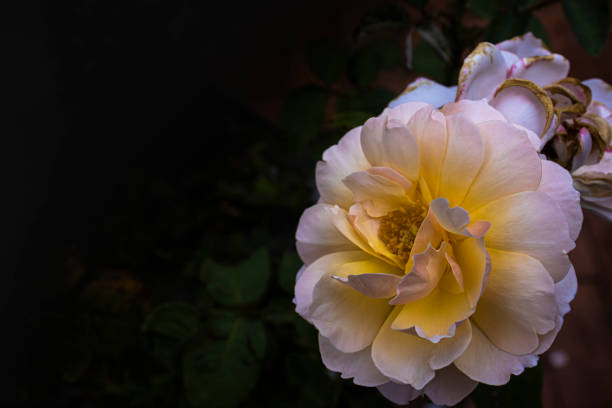 White rose plant outdoors picture id1208604585?b=1&k=6&m=1208604585&s=612x612&w=0&h=wfsdd3buwyevwuporzn2zkceeqt0i9fkkgbdwh9wquy=