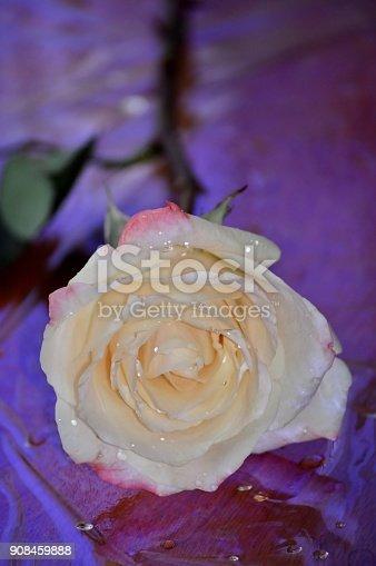 istock White rose, purple blue background. 908459888