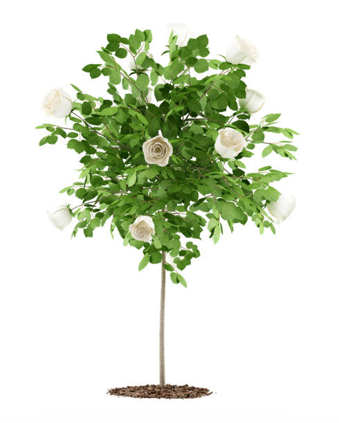 White rose tree plant isolated on white background 3d illustration picture id645207922?b=1&k=6&m=645207922&s=612x612&w=0&h=9airdfgbc zwxjcpu t8gbwdwabh9f91ncrjc1odcu8=