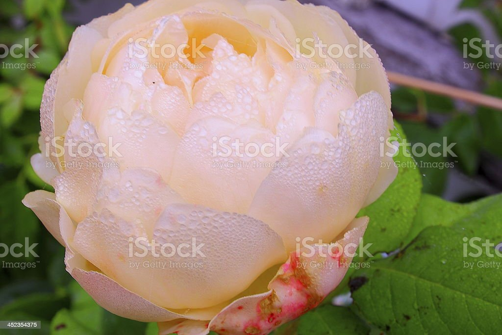 White rose with dew stock photo