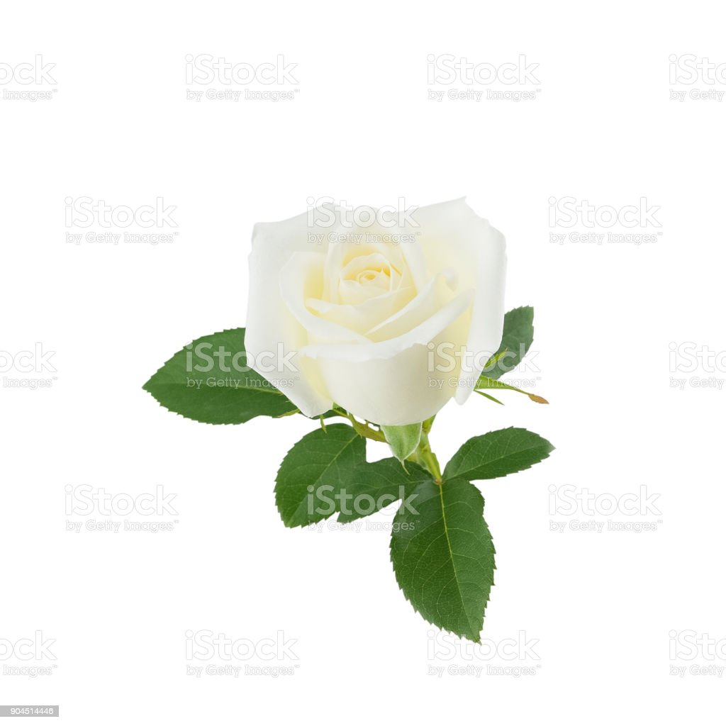 white rose dating