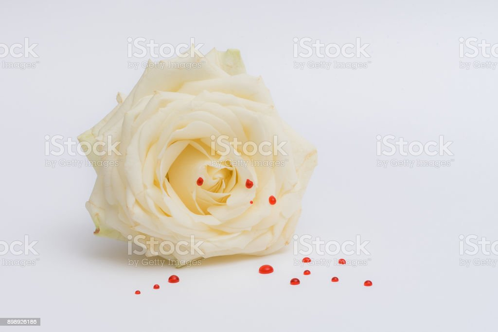 White rose with red drops stock photo