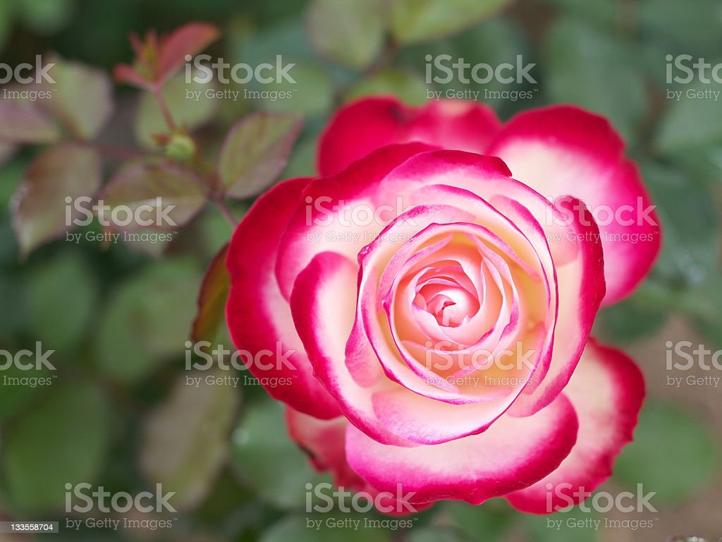 white rose with red tips stock photo