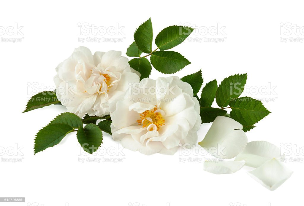 white roses and petals on a white surface stock photo