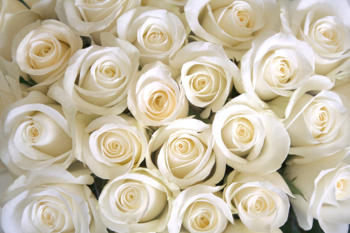 White roses as a background