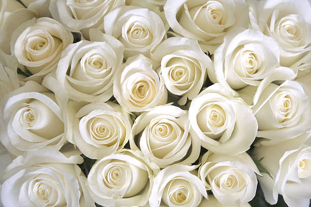 Royalty free white roses pictures images and stock photos istock white roses as a background stock photo mightylinksfo