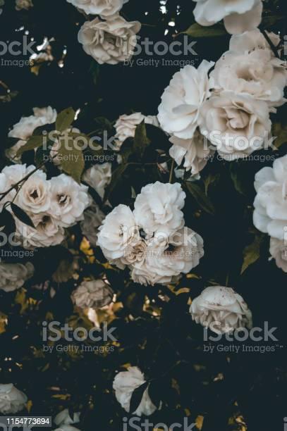 White roses background picture id1154773694?b=1&k=6&m=1154773694&s=612x612&h=xpmxf4ceok01uo vttwaxykiauu rzuajoe ozmurus=