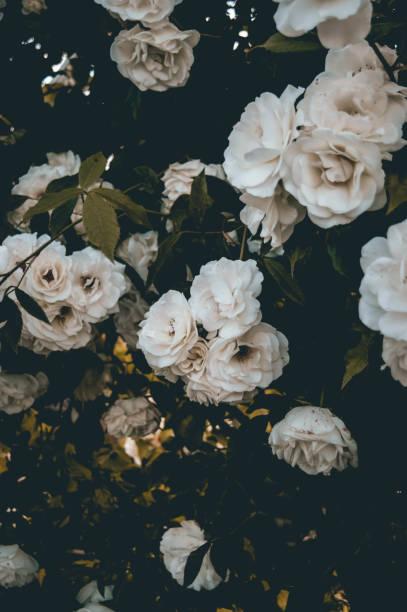 White roses background picture id1154773694?b=1&k=6&m=1154773694&s=612x612&w=0&h=411iiytl1c4fumx37mpwbby5z ut8vx2fq68zltucxk=