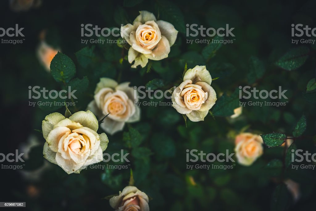 White roses in a flowerbed. - foto de stock