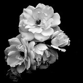 White Roses in Black and White