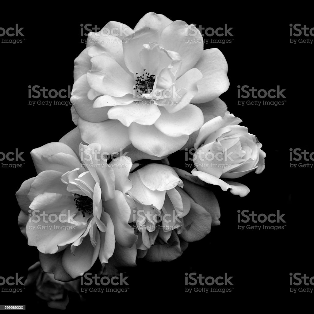 White roses in black and white stock photo