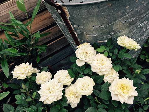 White roses in the retro style summer garden