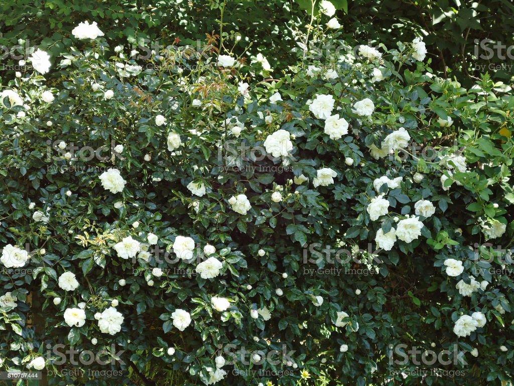 White roses on a bush. stock photo