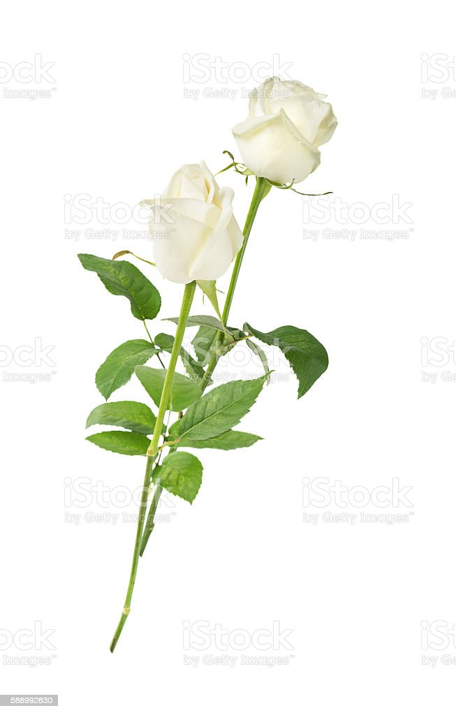 White roses on a white background stock photo