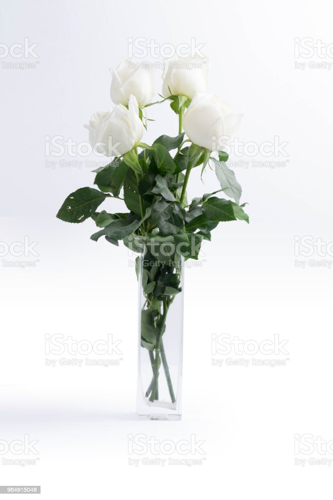 White roses on a white background royalty-free stock photo