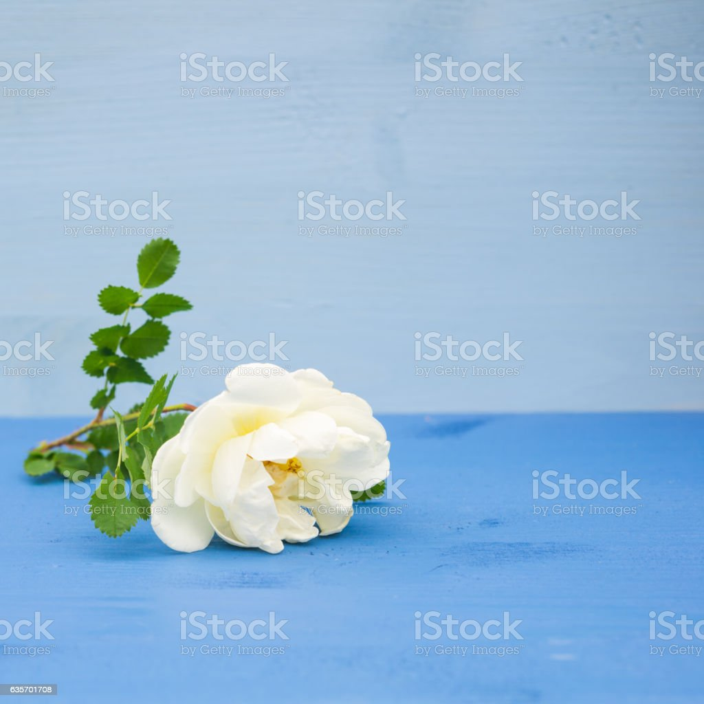 White Roses on an blue wooden background. Copy space royalty-free stock photo