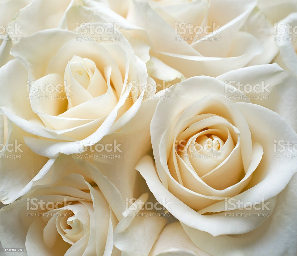 White roses royalty-free stock photo